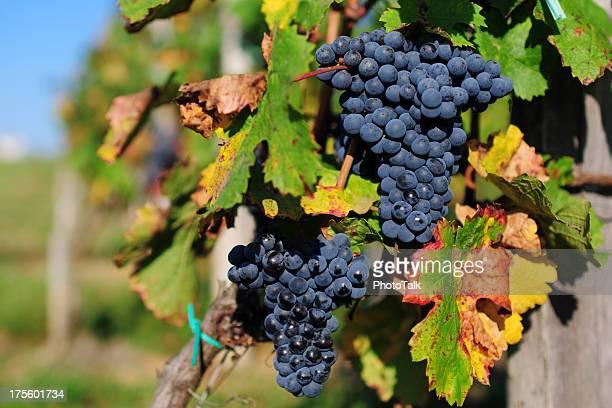 Grape and Vineyard - XLarge