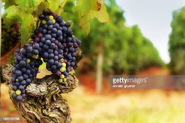 grape bunches on old vine in vineyard - rhone stock pictures, royalty-free photos & images