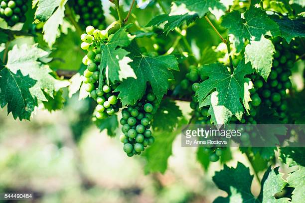 Grape growing in vineyard in Hungary