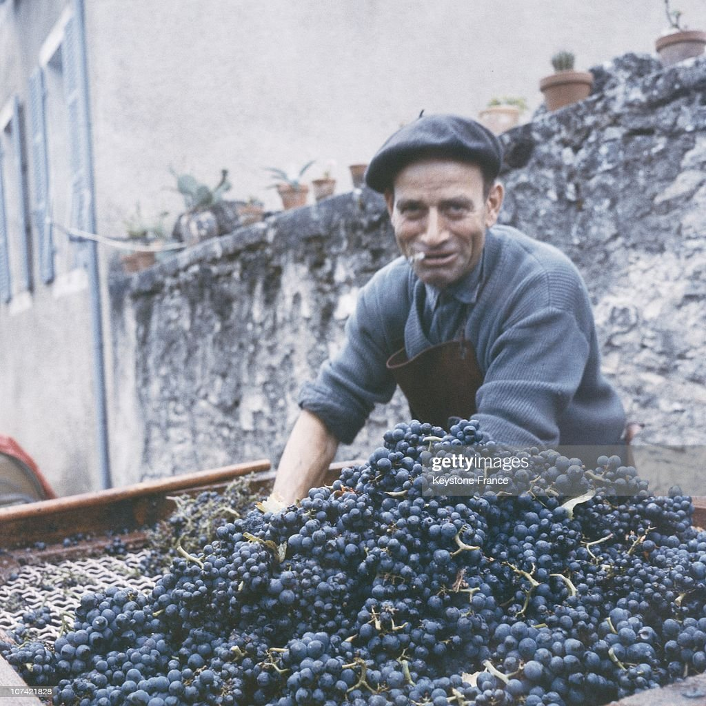 Grape Harvest At Chassegne Montrachet In France : Nachrichtenfoto