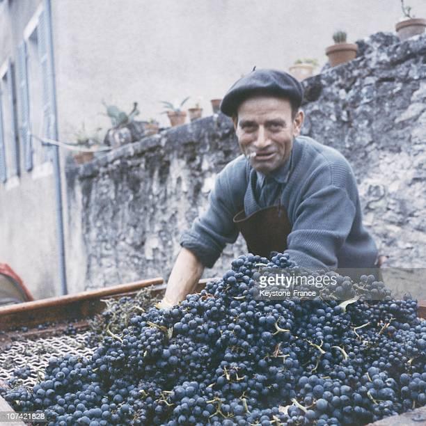 Grape Harvest At Chassegne Montrachet In France