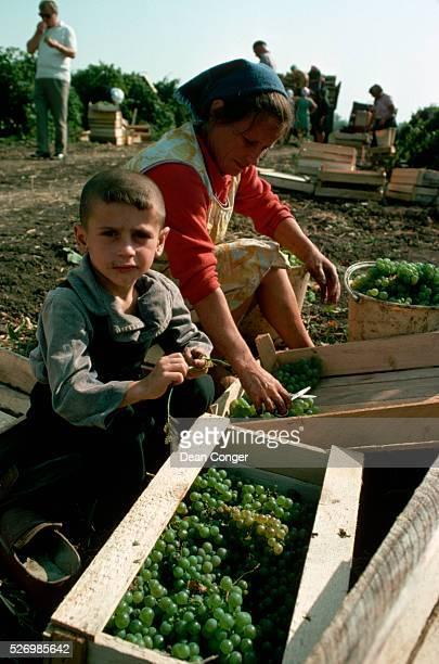 Grape Harvest at Kishinev State Farm, Moldavia