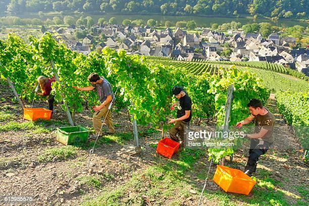 Grape harvest at steep slove vineyard, Moselle