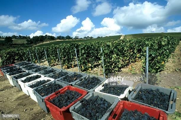 Grape harvest, Champagne