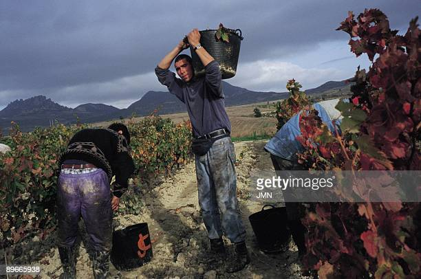 Grape harvest Haro La Rioja Workers in the vintage of Haro winegrowing area of great importance where the famous wine of Rioja takes place
