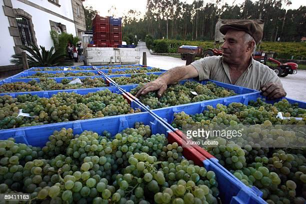 Grape harvest in Agro de Bazan cellar Albarino