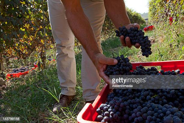 Grape harvest in autumn in a vineyard