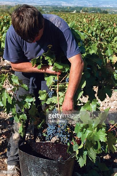 Grape harvest in La Rioja Spain