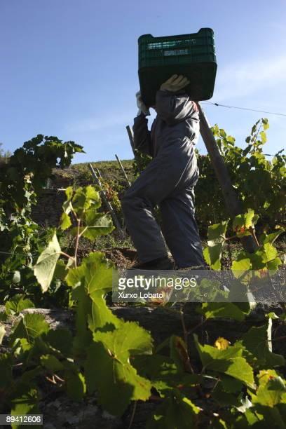Grape harvest in Ribeira Sacra Galicia