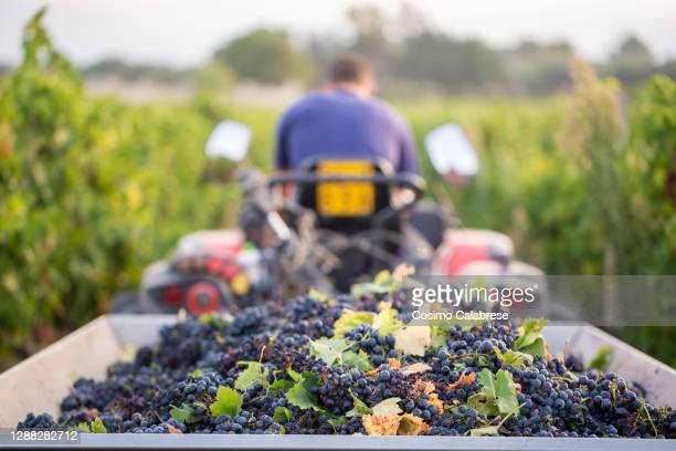 grape harvest in salento / apulia italy - italy stock pictures, royalty-free photos & images