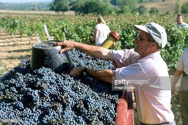 grape harvest - provence alpes cote d'azur stock pictures, royalty-free photos & images