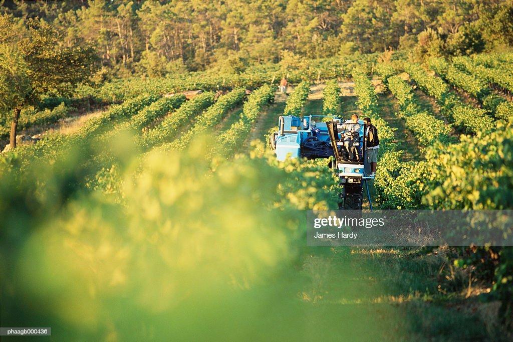 Grape harvest : Stockfoto