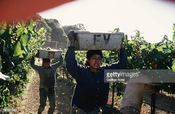 Grape harvest workers race to drop their bins of organically grown chardonnay grapes into an awaiting truck in this 1996 Hopland California photo