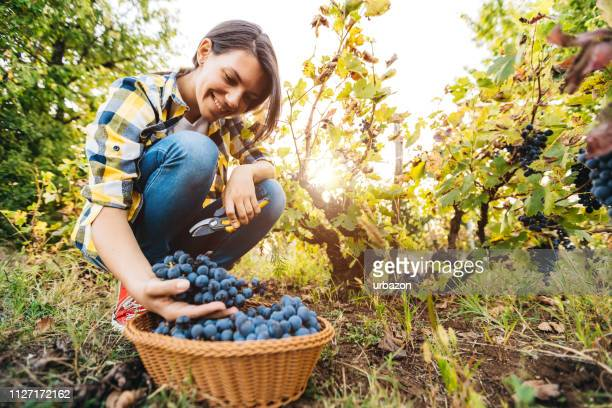 grape harvester in vineyard - grape harvest stock pictures, royalty-free photos & images