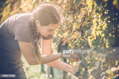 Harvester raisin