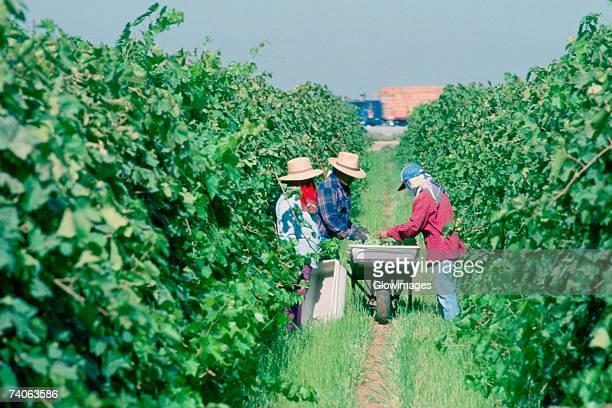 Grape harvesters, Bakersfield, California
