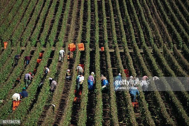 Grape Harvesters in Vineyard