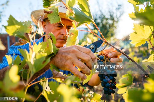 grape harvesting in vineyard - grape harvest stock pictures, royalty-free photos & images
