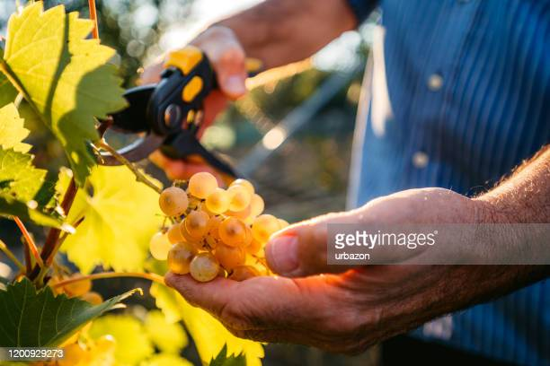 grape harvesting in vineyard - wine harvest stock pictures, royalty-free photos & images