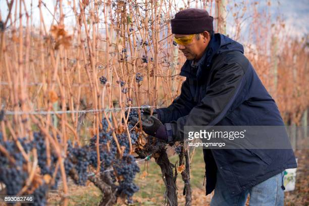 grape harvesting okanagan valley british columbia - migrant worker stock photos and pictures