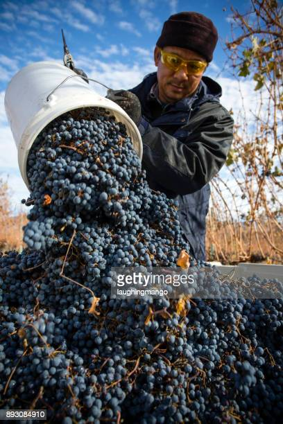 grape harvesting okanagan valley british columbia - migrant worker stock pictures, royalty-free photos & images