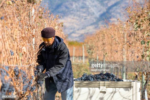 grape harvesting okanagan valley british columbia - thompson okanagan region british columbia stock pictures, royalty-free photos & images