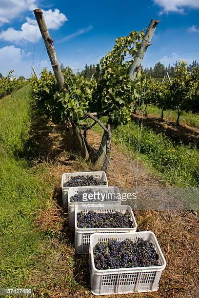 grape harvesting - cabernet sauvignon grape stock photos and pictures