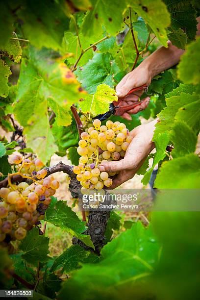 Grape harvesting season in Barcelona, Spain