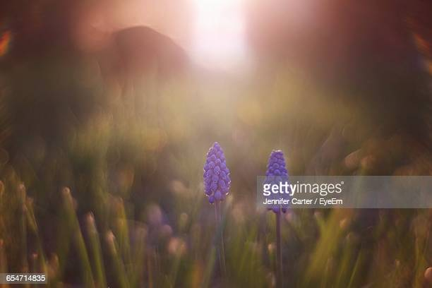 grape hyacinth blooming on field - grape hyacinth stock pictures, royalty-free photos & images