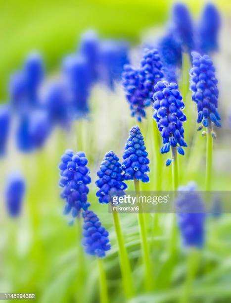 grape hyacinth flower (muscari) - grape hyacinth stock pictures, royalty-free photos & images