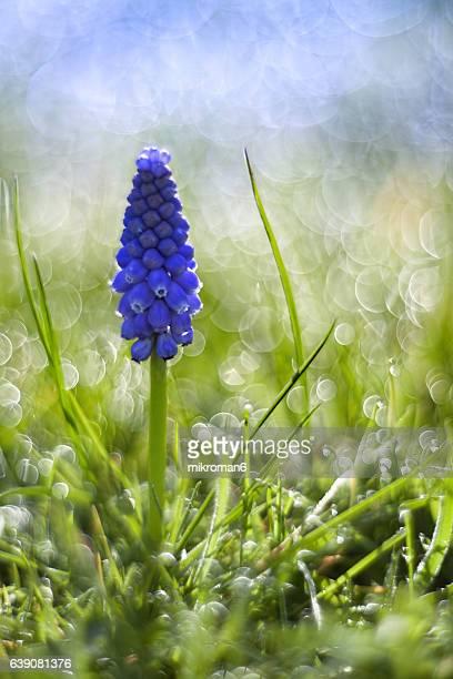 grape hyacinth flower (muscari) - muscari armeniacum stock pictures, royalty-free photos & images
