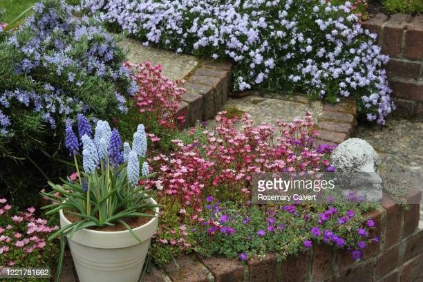 grape hyacinth flowers in pot & flower bed full of flowers. - muscari armeniacum stock pictures, royalty-free photos & images