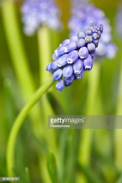 Grape, hyacinth Muscari armeniacum.
