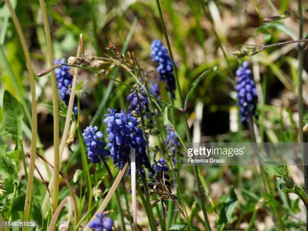 grape hyacinth or garden grape-hyacinth (muscari armeniacum) in bulgaria - muscari armeniacum stock pictures, royalty-free photos & images