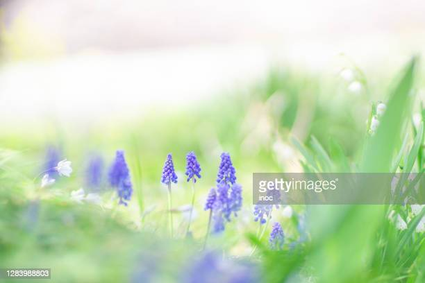 grape hyacinth (ムスカリ) - muscari armeniacum stock pictures, royalty-free photos & images