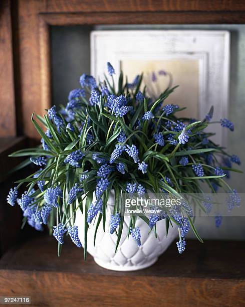 grape hyacinth - muscari armeniacum stock pictures, royalty-free photos & images