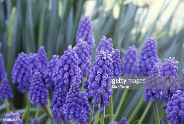 grape hyacinths blooming - muscari armeniacum stock pictures, royalty-free photos & images