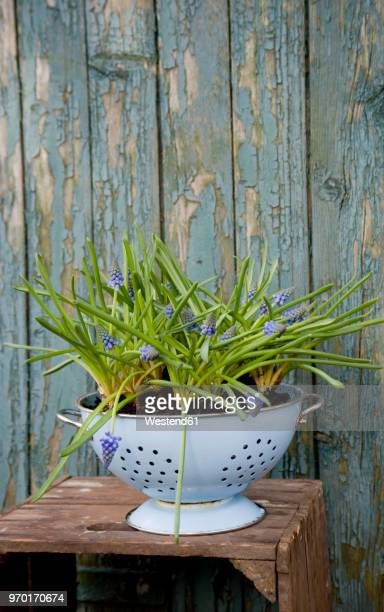 grape hyacinths growing in enamel colander - colander stock photos and pictures