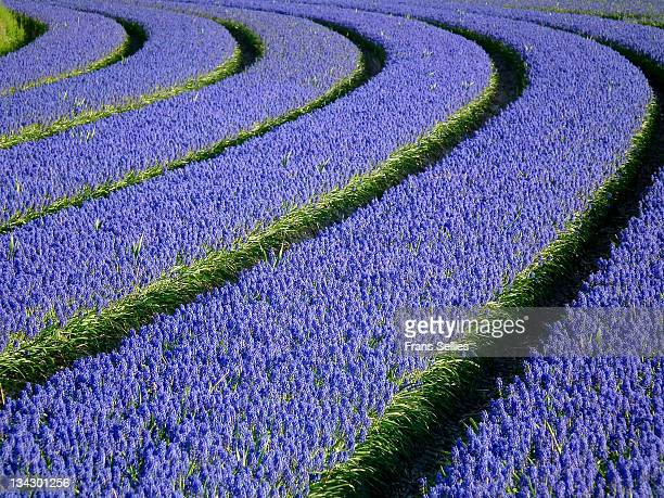 grape hyacinths - grape hyacinth stock pictures, royalty-free photos & images
