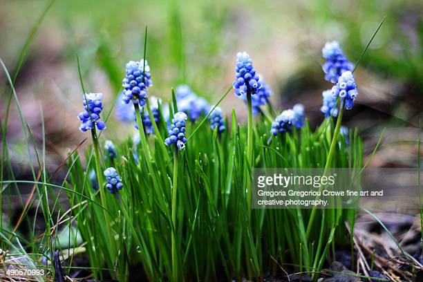 grape hyacinths - gregoria gregoriou crowe fine art and creative photography fotografías e imágenes de stock