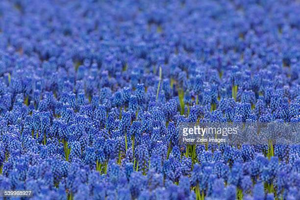 grape hyacinths - muscari armeniacum stock pictures, royalty-free photos & images