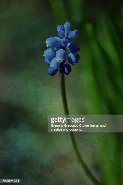 grape hyacinths - gregoria gregoriou crowe fine art and creative photography - fotografias e filmes do acervo