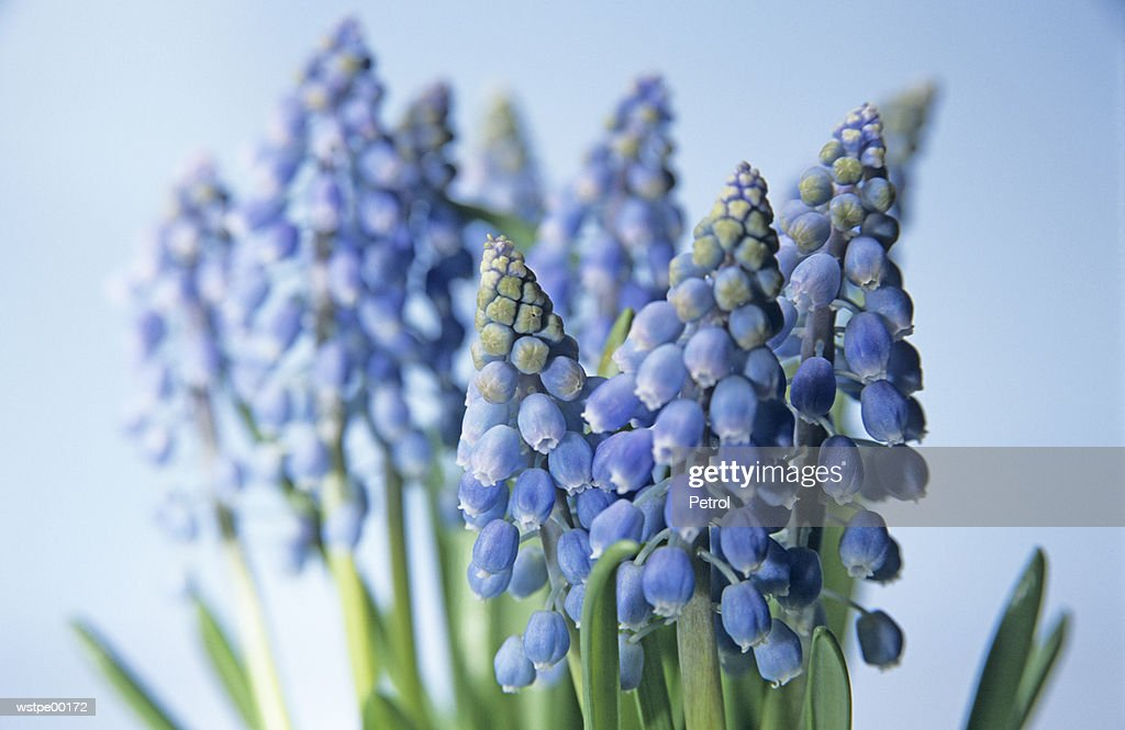 Grape hyacinths : Foto de stock