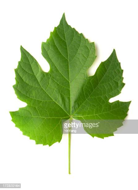 Grape Leaf Isolated cut out on White Background