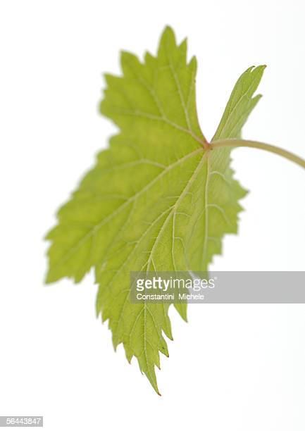 grape leaf - grape leaf stock pictures, royalty-free photos & images