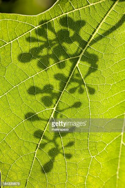 Grape leaf with shadow of a bunch