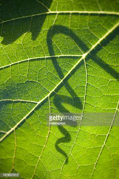 Grape leaf with shadow of a tendril