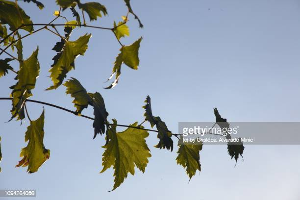 grape leaves against sky - grape leaf stock pictures, royalty-free photos & images