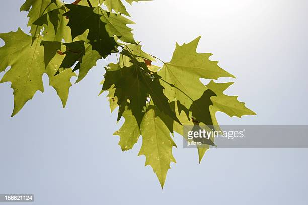 grape leaves against the sun / blue sky - vintage - grape leaf stock pictures, royalty-free photos & images