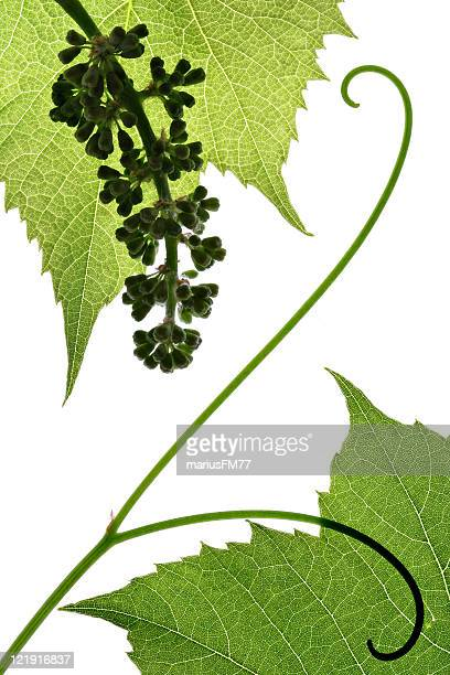 grape leaves  and cluster - grape leaf stock pictures, royalty-free photos & images